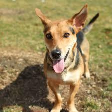 beagle x australian shepherd corgi shepherd mix laura williams