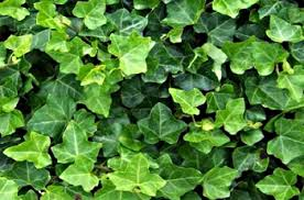 indoor vine plant care is easy and its a beautiful accent plant with lush trailing