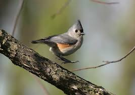 Pennsylvania birds images Birds of pennsylvania and ohio website of doris dumrauf jpg