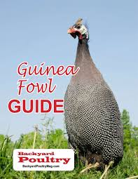 Caring For Backyard Chickens by Get A Free Handbook On Keeping Guinea Fowl Including How To