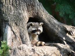 what eats a raccoon