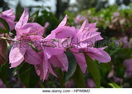 bougainvillea is a genus of thorny ornamental vines bushes and