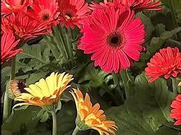 gerbera plant gerbera daisies