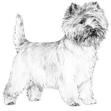 brindle cairn haircut cairn terrier dog breed information american kennel club