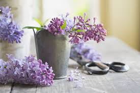 lilac facts what you should know about lilacs