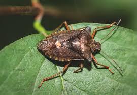 was ist das für ein insekt eine wanze oder was urlaub insekten foto wanze auf einem blatt schnabelkerfe wanze insekt natur bild