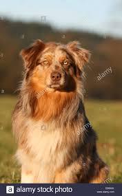 australian shepherd orange dog australian shepherd aussie portrait red tricolor wall
