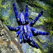 avicularia metallica sling tarantulas metallica