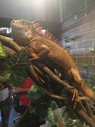 fundraiser by tyt lizard tyt iguana habitat fund