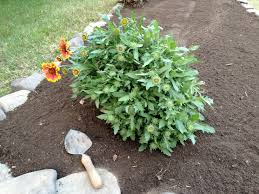 Rock Garden Plan benary giant zinnia best flower ever a must for cutting gardens