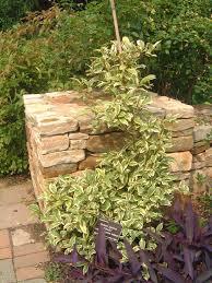 kadsura japonica vines pinterest plants