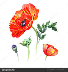 poppies flowers watercolor set of poppies flowers and buds illustrations