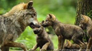 wolf cub hybrids the chopping block in germany dw