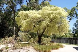 variegated peppermint tree beth kin flickr