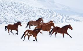 brown horses running through snow hd animals wallpapers