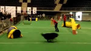 belgian shepherd sydney belgian shepherd groenendael agility youtube