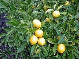 Obat Tidur Herbal 10 obat tidur di apotik alami lelap cair uh aman herbal