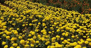 free images field flower floral produce yellow flora