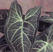arrowhead vine a profile of a house plant howstuffworks