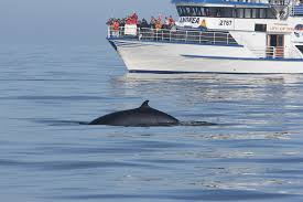 whale watching tour in reykjavik iceland