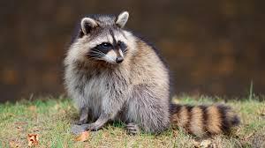 raccoon grass ngsversion 1396530745057 adapt 1900 1 jpg