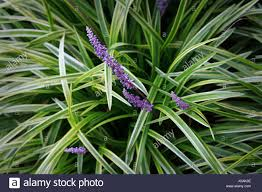 ornamental grass variegated japanese sedge stock photo royalty