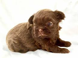 belgian sheepdog puppies for sale uk shih tzu dogs and puppies for sale in the uk pets4homes