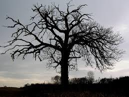 half dead oak tree on hwy k a photo on flickriver
