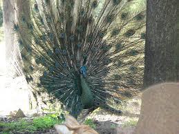 merak hijau green peafowl
