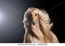 us afghan hound afghan hound stock images royalty free images u0026 vectors