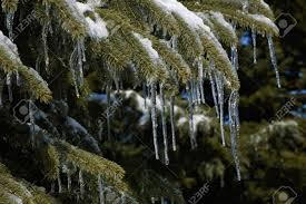 pine tree covered in snow and icicles stock photo picture and