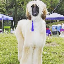 afghan hound therapy dog fundraiser for elyse smith by garnet thompson get stella back on