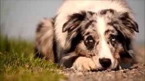 6 month australian shepherd dog tricks with dexter the australian shepherd youtube