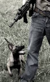 belgian shepherd dog puppies for sale kintín al ataque belgian malinois dog working dogs