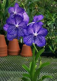 vanda orchids tips to grow vanda orchids in pots orchid flowers