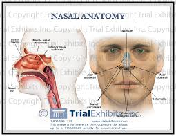Nose Anatomy And Physiology Human Anatomy Nasal Anatomy The Nose Has Two Primary Functions