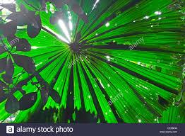 fan palm leaf detail in tropical daintree rainforest australia