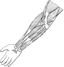 muscles of the arm flexors