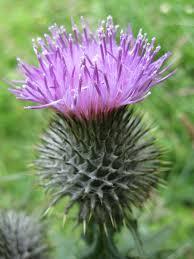 plants native to scotland nostalgia in scottish wild flowers wild flowers flower and scotland