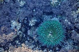 free photo sea anemone anemone reef oceanic free image on