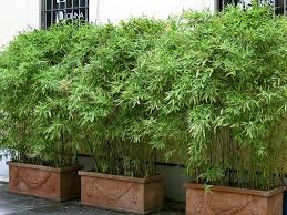 garden design with luxurious bamboo plants pots outside