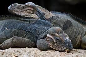 iguana island rhino iguanas island of hispaniola reptiles pinterest