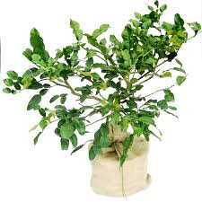 kaffir lime trees for sale at trees direct
