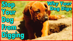 how to train your dog to stop digging start now keep a dog