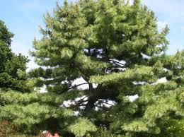 white pine trees how to grow eastern white pine growing eastern white pine trees
