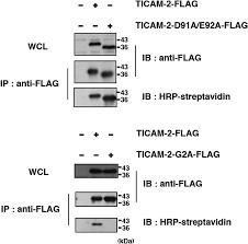 identification of a regulatory acidic motif as the determinant of