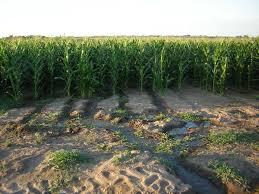 irrigated corn www globalfarmpartners com