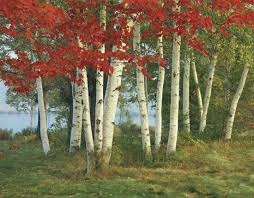 photograph a of birch trees are ablaze with autumn color