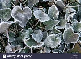 climbing plant leaves hedera helix frozen leaves stock photo