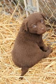 puppy thanksgiving 25 best fat puppies ideas on pinterest fluffy puppies bulldog